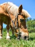 Pony eating Stock Photos