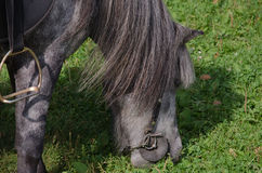 Pony eats grass. Dark gray pony is eating green grass Stock Images