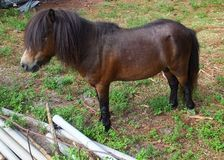 Pony (Equus ferus caballus) Royalty Free Stock Photos