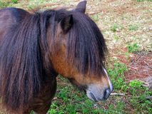 Pony (Equus ferus caballus) Royalty Free Stock Image
