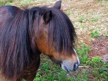 Miniature Horse Royalty Free Stock Image