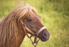 Pony (Equus ferus caballus) female looking scared Stock Photography