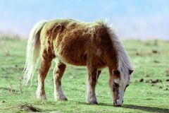 Pony Equus ferus caballus grazing in the field Stock Photography