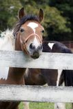 Pony Face. A curious pony pokes its face over a white fence Royalty Free Stock Photo