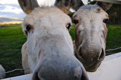 Pony face. Close-up of two white pony faces. Curious Royalty Free Stock Photos