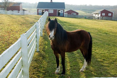 Pony on farm. Pony in coral looking at camera with barn in background Stock Image