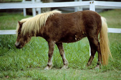 Pony. Farm Animal- A brown pet pony Royalty Free Stock Images