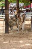 Pony in Farm or Livestock Royalty Free Stock Image
