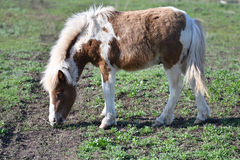 Pony on farm Stock Photography