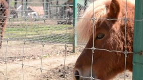 Pony is Fed. A hungry pony is fed with grass at the Zoo stock footage