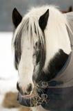 Pony feeding Royalty Free Stock Photo