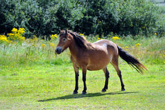 Pony in field Royalty Free Stock Photos