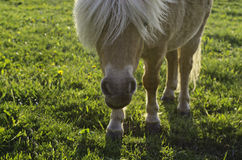 Shetland Pony. On a field eating grass Stock Photo