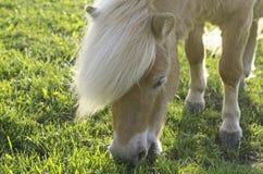 Shetland Pony. On a field eating grass Royalty Free Stock Photo