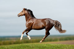 Pony in field Royalty Free Stock Photography