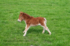 Pony Foal. A new born Pony Foal in a meadow Stock Images