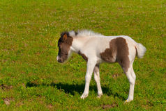 Pony foal. On a pasture Stock Image