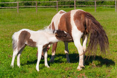 Pony and foal Stock Images