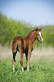 Pony foal Stock Photography