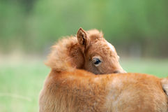 Pony foal. Cute little pony foal itching Royalty Free Stock Photo