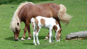 Pony & Foal. A Pony with her young foal grazing on moorland in Devon UK Stock Image