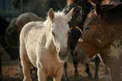 Pony foal in herd Stock Image