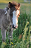 Pony foal Royalty Free Stock Image