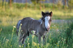Pony foal Royalty Free Stock Photography