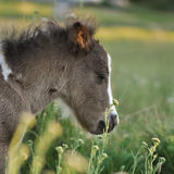 Pony foal Stock Images
