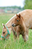 Pony with foal on a pasture Stock Photo