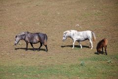 Pony with foal in the pasture stock photography