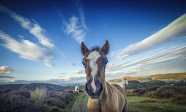 Pony Foal Portrait Close Up sauvage photos stock