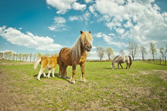 Pony with foal Royalty Free Stock Image