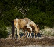 Pony with Foal stock photography
