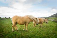 Pony free Irish beach, august 2016 Royalty Free Stock Photos
