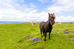 Pony free Irish beach, august 2016 Stock Photos