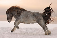 Pony galloping on snow in winter. Dun North Pony galloping on snow in winter royalty free stock images