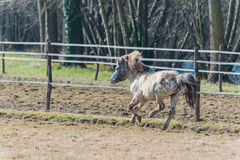 A pony galloping in the sun Royalty Free Stock Photo