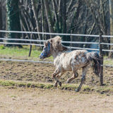 A pony galloping in the sun Stock Photo