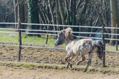 A pony galloping in the sun Stock Image