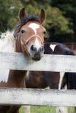 Pony-Gesicht lizenzfreies stockfoto