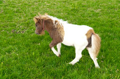 Pony on grass. Ponies grazing on grass in Romania Royalty Free Stock Photos