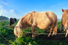Pony graze on sunny pasture Royalty Free Stock Photo