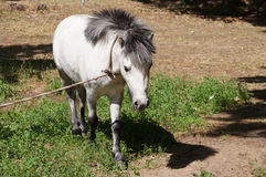 Pony is grazed on tourist base Royalty Free Stock Photography