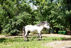Pony is grazed on tourist base. Pony as the representative of fauna, is grazed on a lawn on tourist base Royalty Free Stock Images