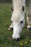 Pony grazing. Wonderful welsh pony eating grass Stock Photo