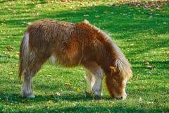 Pony Grazing auf einem Rasen lizenzfreies stockbild