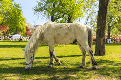 Pony grazing in Budapest Garden Stock Photo