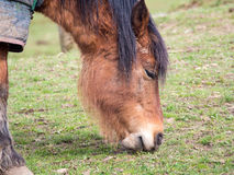 Pony Grazing Royalty Free Stock Images