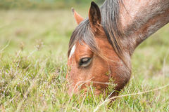 Pony grazing Stock Photos